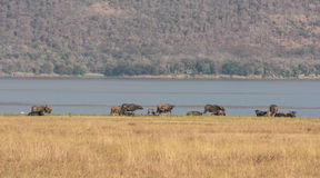 Flock of buffalo in the grassland Stock Image