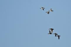 Flock of Bufflehead Ducks Flying in a Blue Sky Stock Photo