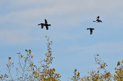 Flock of Bufflehead Ducks Flying Low Over the Trees Royalty Free Stock Photo