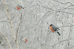 Flock of bullfinches (Pyrrhula pyrrhula) sit on frozen branches of birch, on cold winter day. Closeup Royalty Free Stock Photography