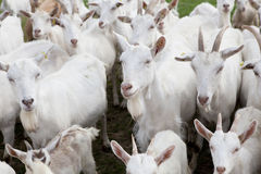 Flock Buren goats Stock Images