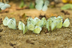 Flock of butterflies - cabbage white or cabbage white Latin. Pieris brassicae on the banks of the river Kisina.
