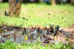 Flock of butterflies Stock Image
