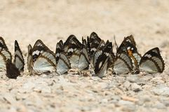 A flock of butterflies sitting on the ground royalty free stock photo