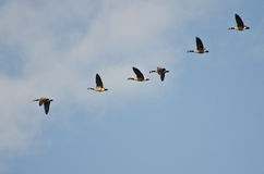 Flock of Canada Geese Stock Images