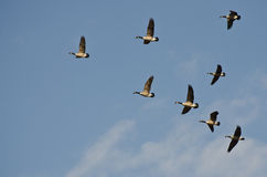 Flock of Canada Geese Royalty Free Stock Images