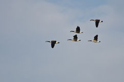 Flock of Canada Geese Stock Photography
