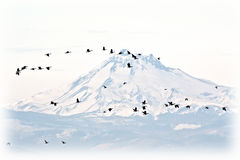 Flock of Canada Geese Against A Snowy Mountain. RnrnA flock of Canada Geese flying in front of snow capped Mt. Jefferson, Oregonrnrn stock image