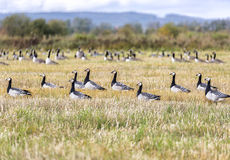 Flock of Barnacle Geese Stock Photos