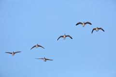 Flock of Canada Geese in Flight Royalty Free Stock Photo