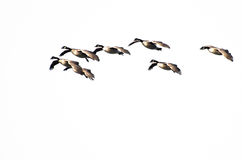 Flock of Canada Geese royalty free stock photo