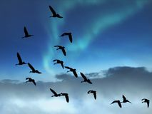 Flying Birds In The Northern Lights Sky. Flock of Canada Geese flying through a beautiful and colorful northern lights sky royalty free stock images