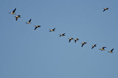 Flock of Canada Geese Stock Image