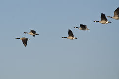 Flock of Canada Geese Flying in a Blue Sky Stock Photos