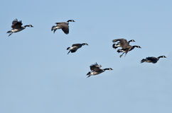 Flock of Canada Geese Flying in a Blue Sky Royalty Free Stock Image