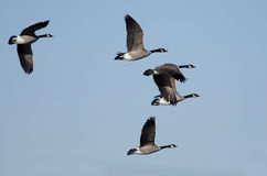 Flock of Canada Geese Flying in a Blue Sky Royalty Free Stock Photography