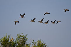 Flock of Canada Geese Flying in a Blue Sky Stock Image