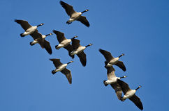 Flock of Canada Geese Flying in a Blue Sky Royalty Free Stock Photo