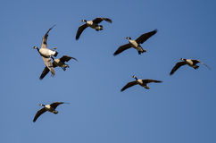 Flock of Canada Geese Flying in a Blue Sky Stock Photography