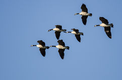 Flock of Canada Geese Flying in a Blue Sky Stock Images