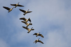 Flock of Canada Geese Flying in a Blue Sky Royalty Free Stock Photos