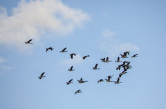 Flock of Canada Geese Flying Stock Photography