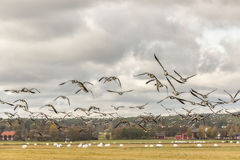 Flock of Barnacle Geese Flying Royalty Free Stock Photography