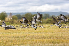 Flock of Barnacle Geese Flying Royalty Free Stock Image