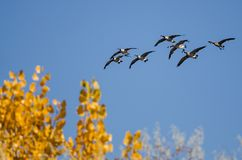 Flock of Canada Geese Flying Past a Golden Autumn Trees Stock Image