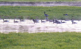 Flock of Canada Geese lands in Yellowstone waters. Royalty Free Stock Photos