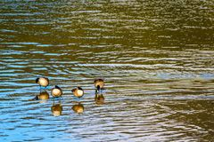 Flock of Canada Geese at Pitt Lake near the town of Maple Ridge in the Fraser Valley of British Columbia. Canada Royalty Free Stock Photography