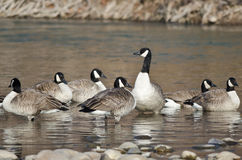 Flock of Canada Geese Resting in a River Royalty Free Stock Photography