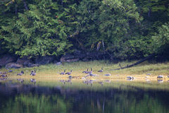 Flock of Canada Geese Royalty Free Stock Photos