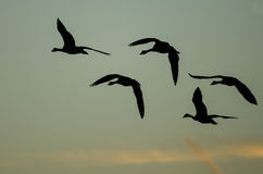 Flock of Canada Geese Silhouetted in the Sunset Sky As They Flies Royalty Free Stock Photography