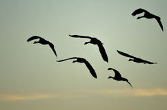 Flock of Canada Geese Silhouetted in the Sunset Sky As They Flies Stock Image