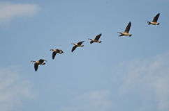 Flock of Canada Geese Stock Photos