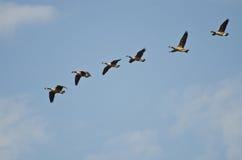 Flock of Canada Geese Stock Photos