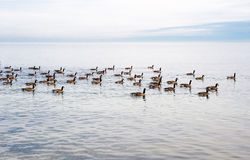 Flock of Canada Geese swimming across lake. Royalty Free Stock Photo