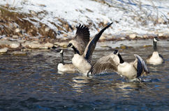 Flock of Canada Geese Taking Off from a Winter River Royalty Free Stock Image