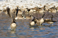 Flock of Canada Geese Taking Off From a Winter River Stock Photos