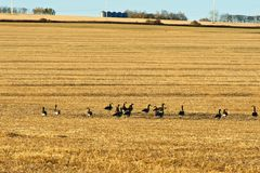 Flock of Canada Geese in a wheat field Stock Images