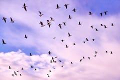 flock of Canada gooses Stock Photos
