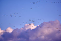 flock of Canada gooses Royalty Free Stock Photography