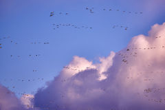 flock of Canada gooses Stock Image
