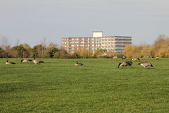 Flock of Canadian geese Royalty Free Stock Images