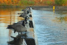 Flock of Canadian geese Stock Image