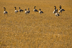 Flock of Canadian Geese in harvested field. Autumn scenic of Canadian Geese walking through a harvested field Stock Photography