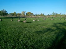 A flock of Canadian Geese on stroll Royalty Free Stock Photos
