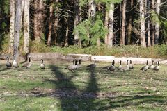Geese in the tree shadow stock photography