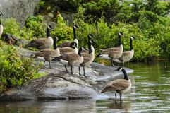 A Flock Of Canda Geese On A Lakeshore. Canada Geese, Adirondack Forest Preserve, New York Stock Photo